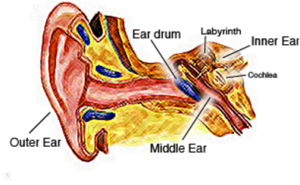 parts of the ear